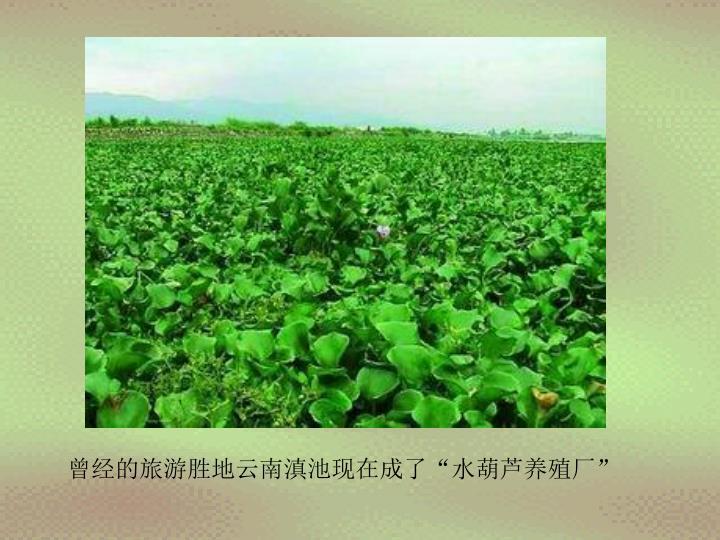 """曾经的旅游胜地云南滇池现在成了""""水葫芦养殖厂"""""""