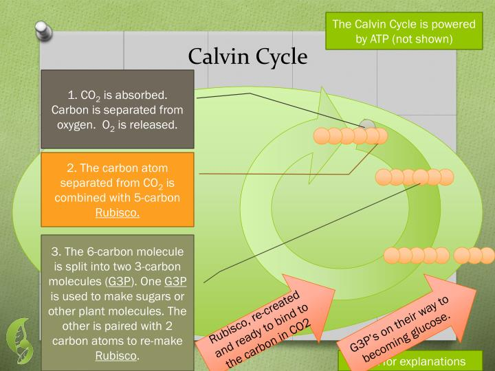 The Calvin Cycle is powered by ATP (not shown)