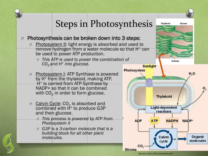 Steps in Photosynthesis