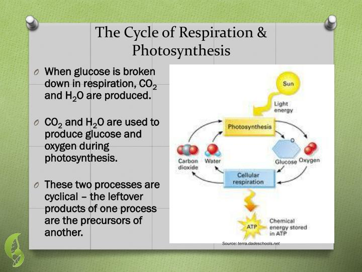 The Cycle of Respiration & Photosynthesis