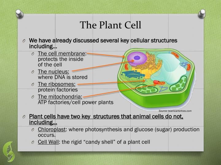 The Plant Cell