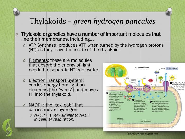 Thylakoids –