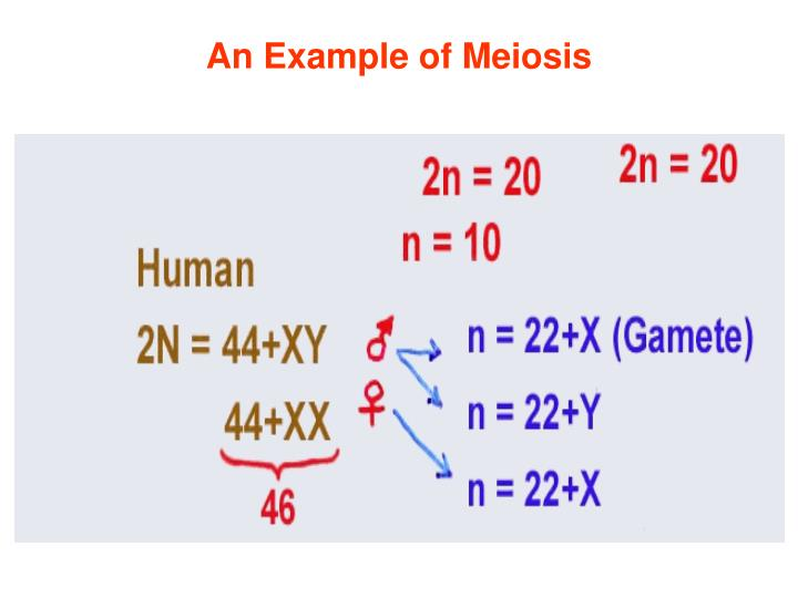 An Example of Meiosis