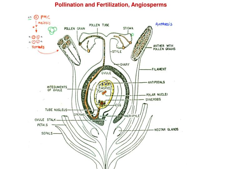 Pollination and Fertilization, Angiosperms