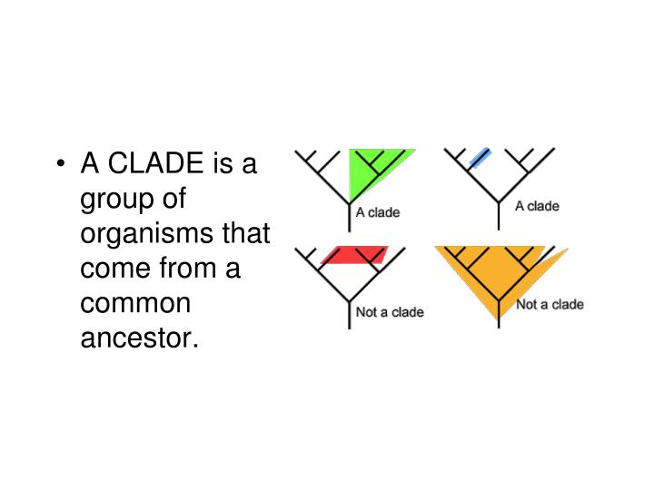 A CLADE is a group of organisms that come from a common ancestor.