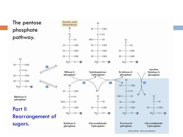 22.6  Pentose Phosphate Pathway