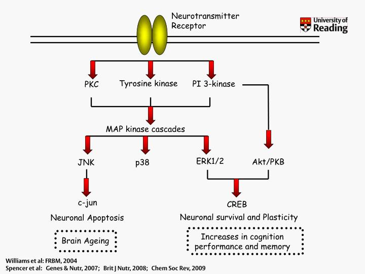 Neurotransmitter Receptor