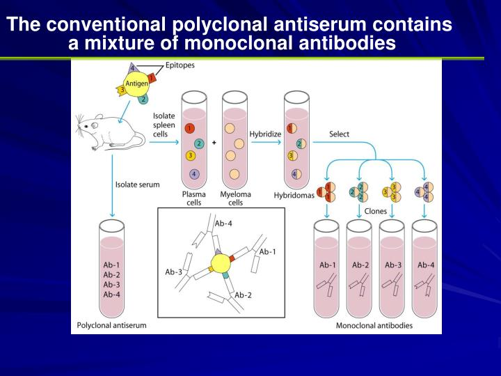 The conventional polyclonal antiserum contains