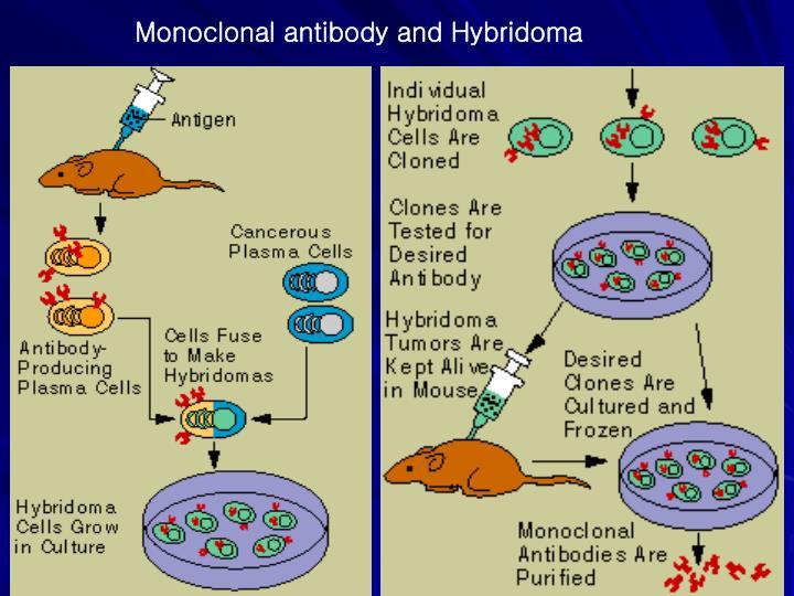 Monoclonal antibody and Hybridoma