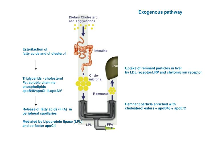 Exogenous pathway