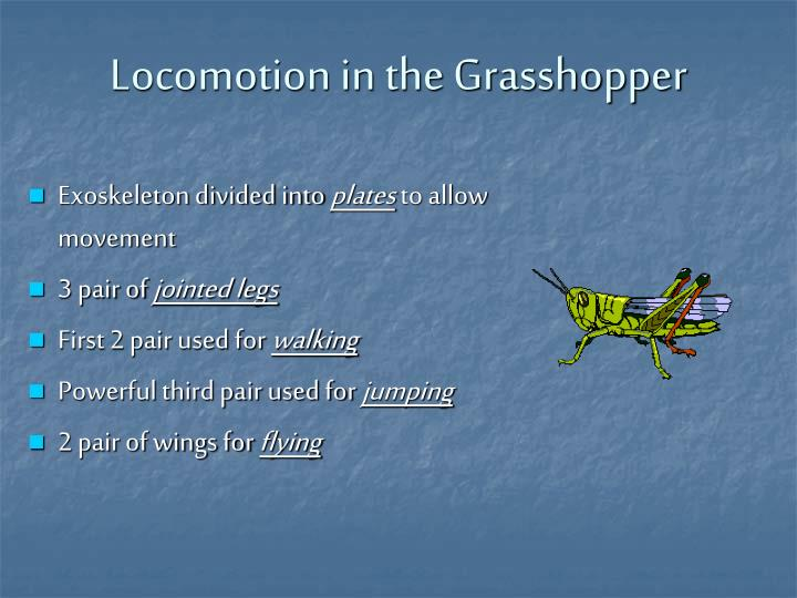 Locomotion in the Grasshopper