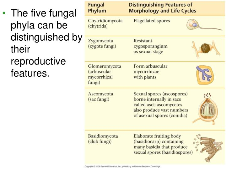 The five fungal phyla can be distinguished by their reproductive features.