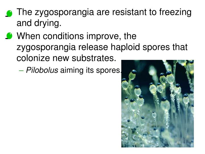 The zygosporangia are resistant to freezing and drying.