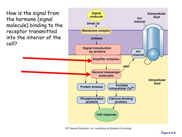 How is the signal from the hormone (signal molecule) binding to the receptor transmitted into the interior of the cell?