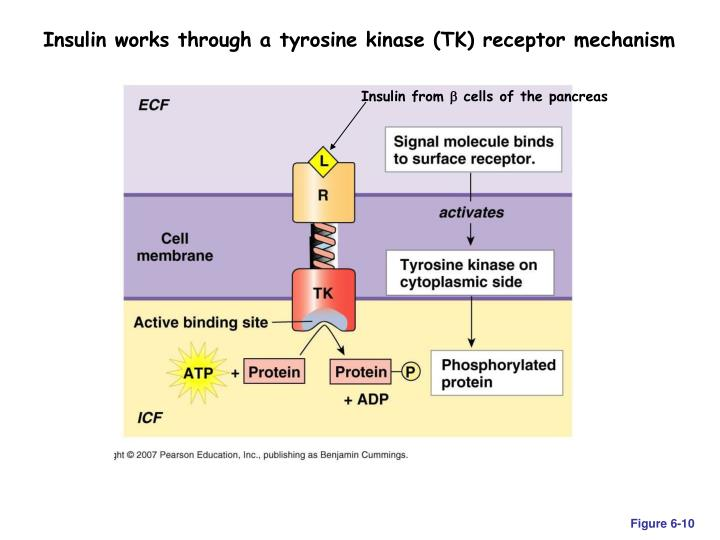 Insulin works through a tyrosine kinase (TK) receptor mechanism