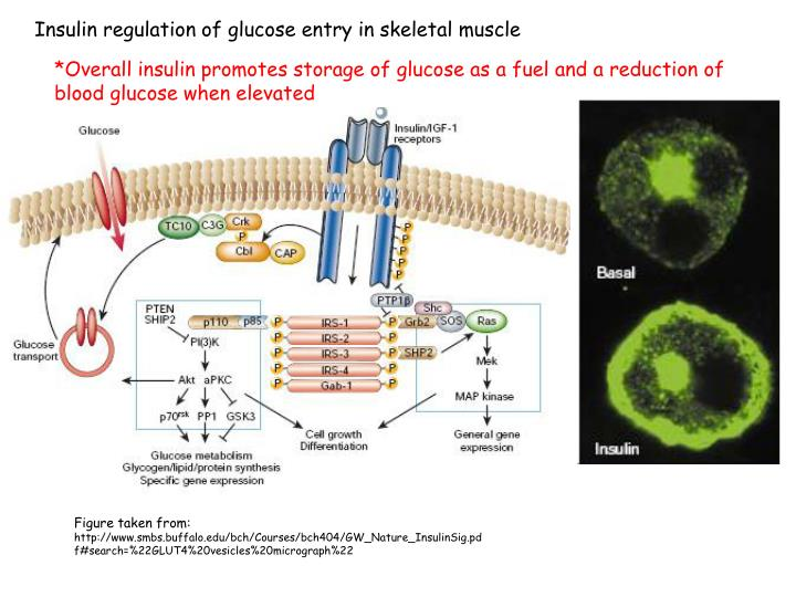 Insulin regulation of glucose entry in skeletal muscle