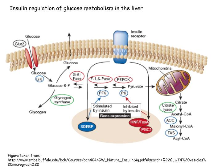 Insulin regulation of glucose metabolism in the liver