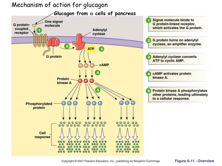 Mechanism of action for glucagon