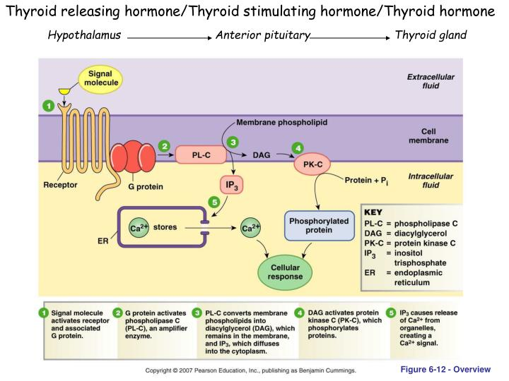 Thyroid releasing hormone/Thyroid stimulating hormone/Thyroid hormone