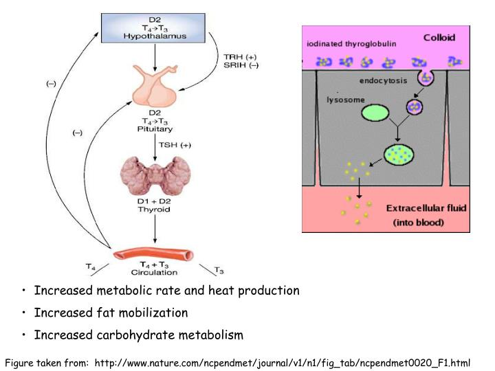 Increased metabolic rate and heat production
