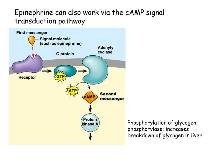 Epinephrine can also work via the cAMP signal transduction pathway