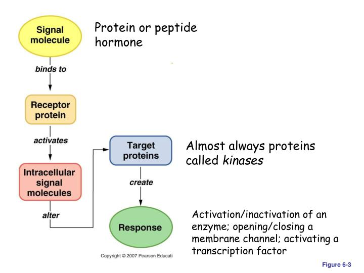 Protein or peptide hormone