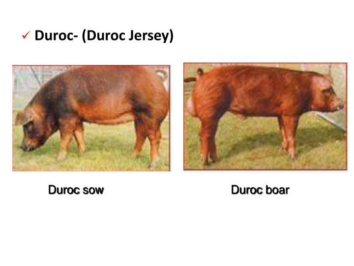 Duroc- (Duroc Jersey)