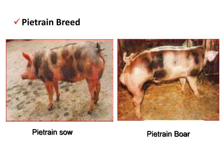Pietrain Breed