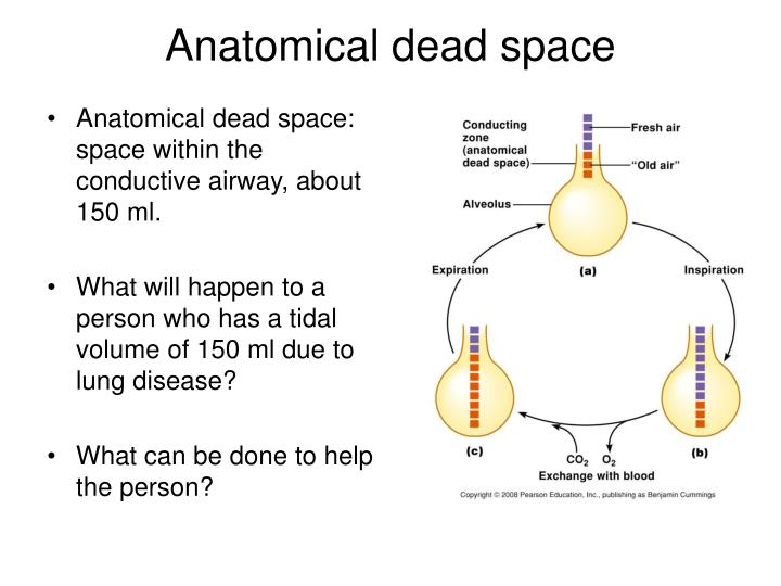 Anatomical dead space: space within the conductive airway, about 150 ml.