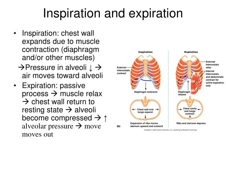 Inspiration: chest wall expands due to muscle contraction (diaphragm and/or other muscles)