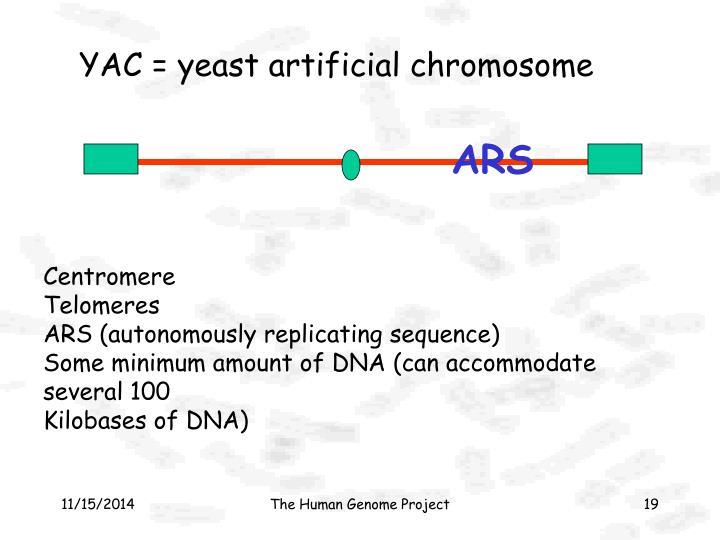 YAC = yeast artificial chromosome