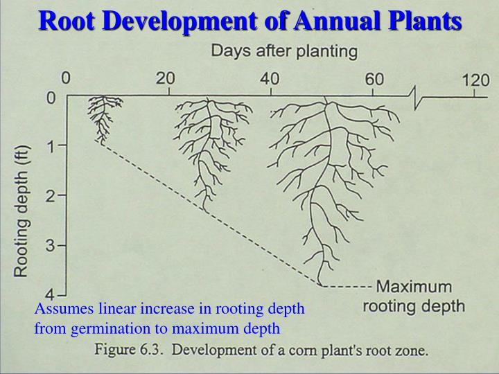 Root Development of Annual Plants