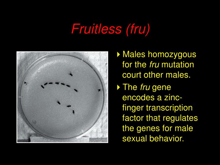 Fruitless (fru)