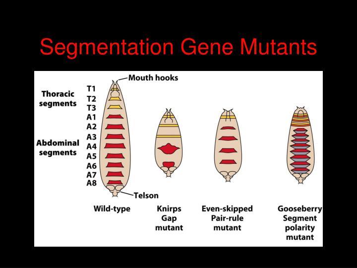 Segmentation Gene Mutants