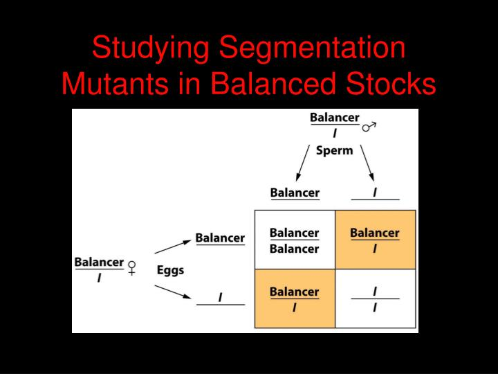 Studying segmentation mutants in balanced stocks
