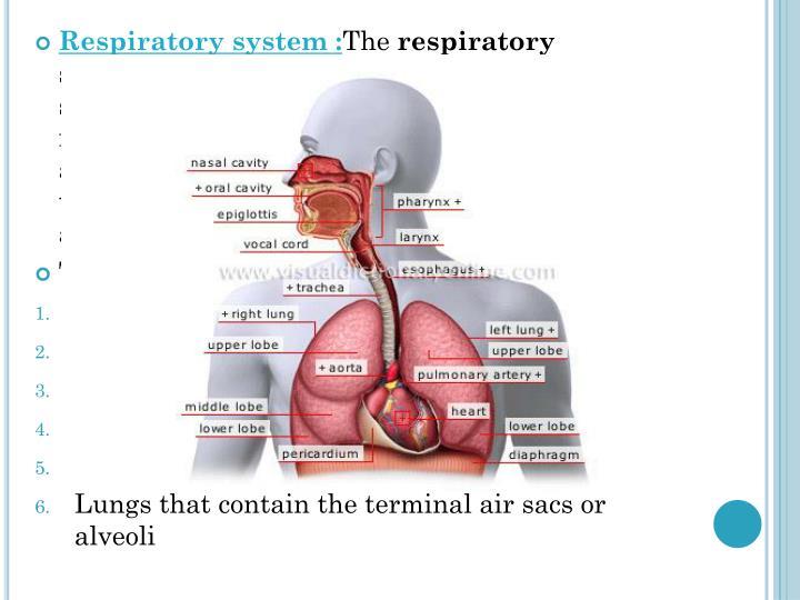 Respiratory system :