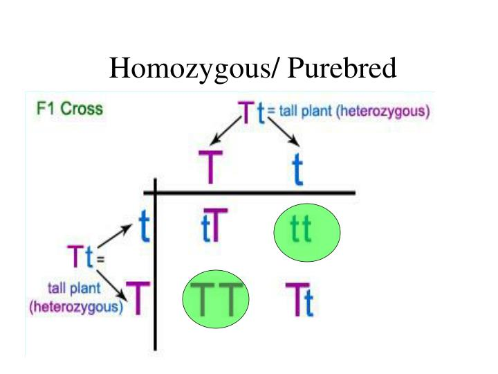 Homozygous/ Purebred