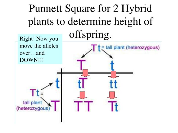 Punnett Square for 2 Hybrid plants to determine height of offspring.