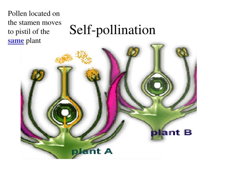 Pollen located on the stamen moves to pistil of the