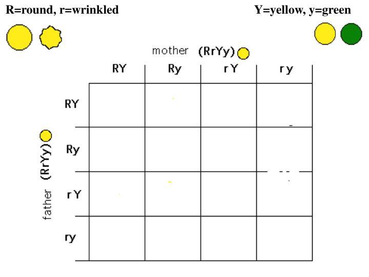 R=round, r=wrinkled                       Y=yellow, y=green