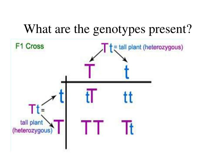 What are the genotypes present?