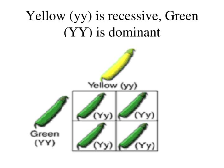 Yellow (yy) is recessive, Green (YY) is dominant