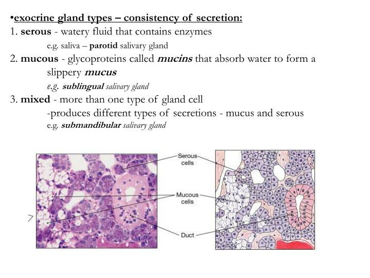exocrine gland types – consistency of secretion:
