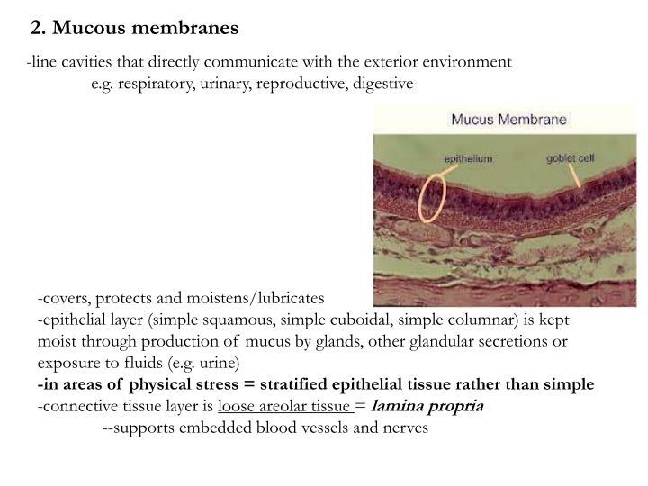 2. Mucous membranes