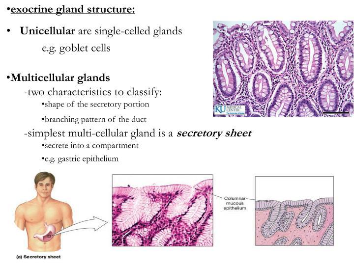 exocrine gland structure: