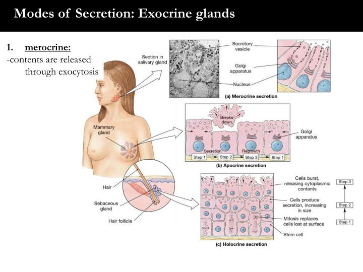 Modes of Secretion: Exocrine glands