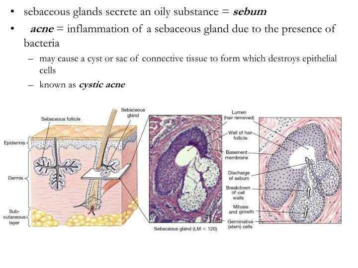 sebaceous glands secrete an oily substance =