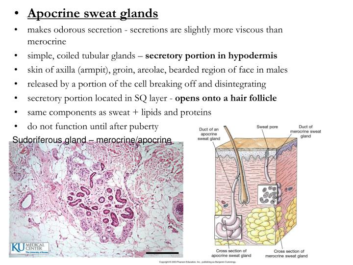 Apocrine sweat glands