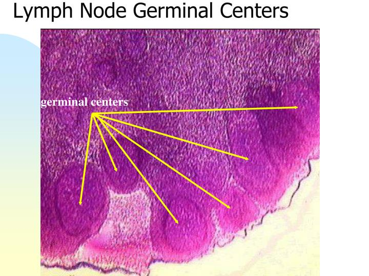Lymph Node Germinal Centers