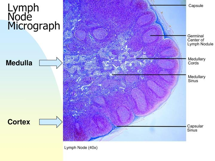 Lymph Node Micrograph